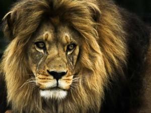 lion-wallpaper16-1024x768